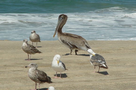 Zuma Beach California Birds